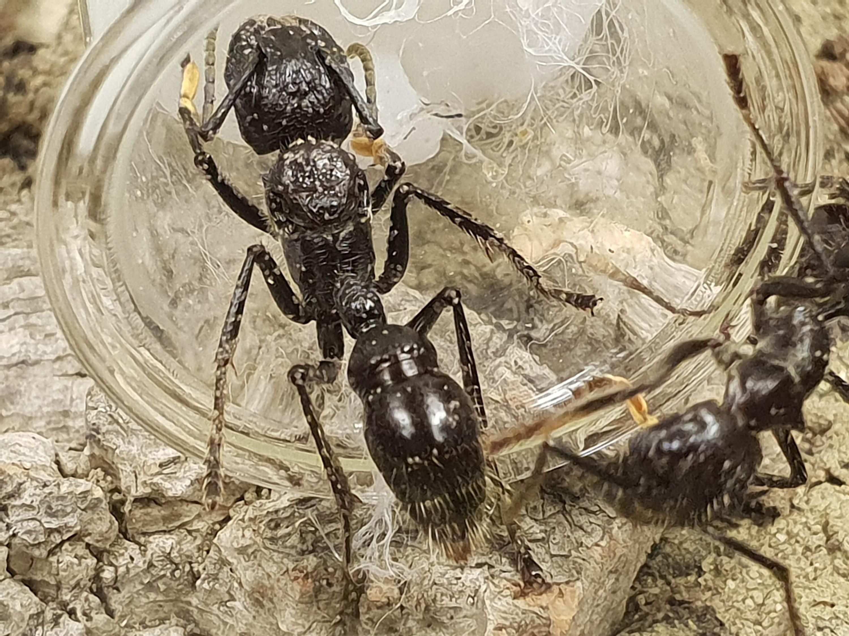 P. clavata Königin mit starkem Milbenbefall