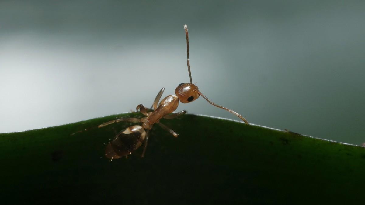 Camponotus sp. Guyane 'Colobopsis' 02 Arbeiterin 02