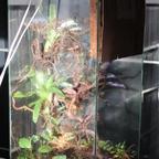 Dolichoderus bispinosus 30 Korknestarena 01
