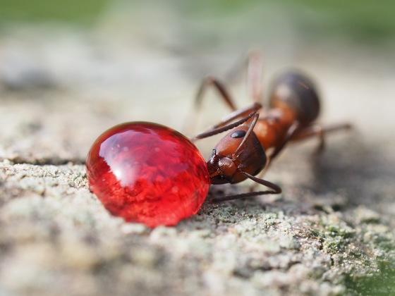 Formica s. str. bei der Nahrungsaufnahme - Auch Waldameisen freuen sich über ein Marmeladenbrot!