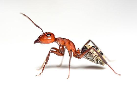 Camponotus detritus major