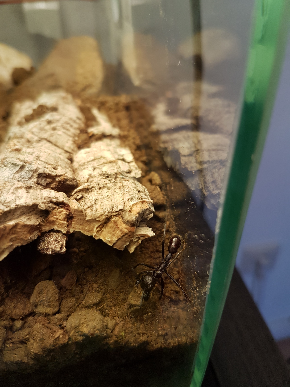 Paraponera clavata bei der Arbeit