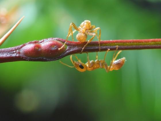 Pseudomyrmex ferrugineus