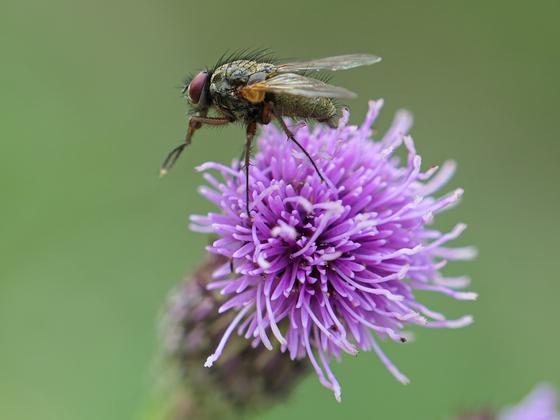 Fliege 1