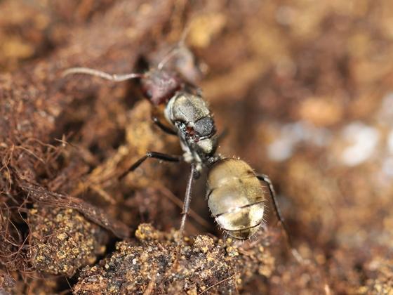Camponotus sericeus 13 unbegattete Gyne 02