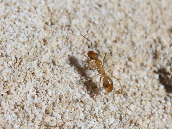 Camponotus turkestanus 14 Arbeiterin beim Erkunden der Umgebung 05