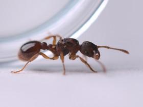 Myrmica scabrinodis 1-3