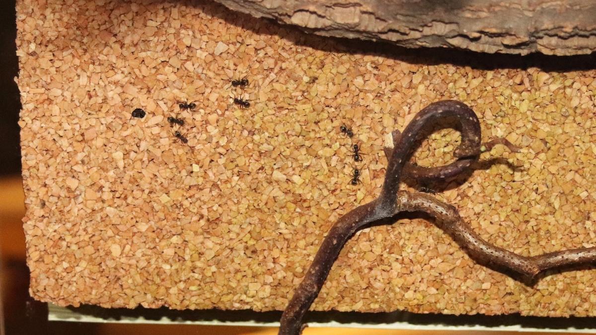 Dolichoderus bispinosus 43 Korknest 06