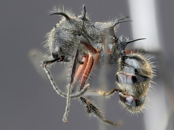 Dolichoderus shattucki