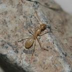 Camponotus turkestanus 02 Arbeiterin beim Erkunden der Umgebung 01