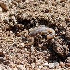 Vaejovis spinigerus, eine eher mindergiftige Skorpionart.
