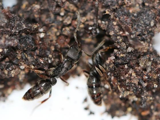 Pachycondyla sp. Guyane 03