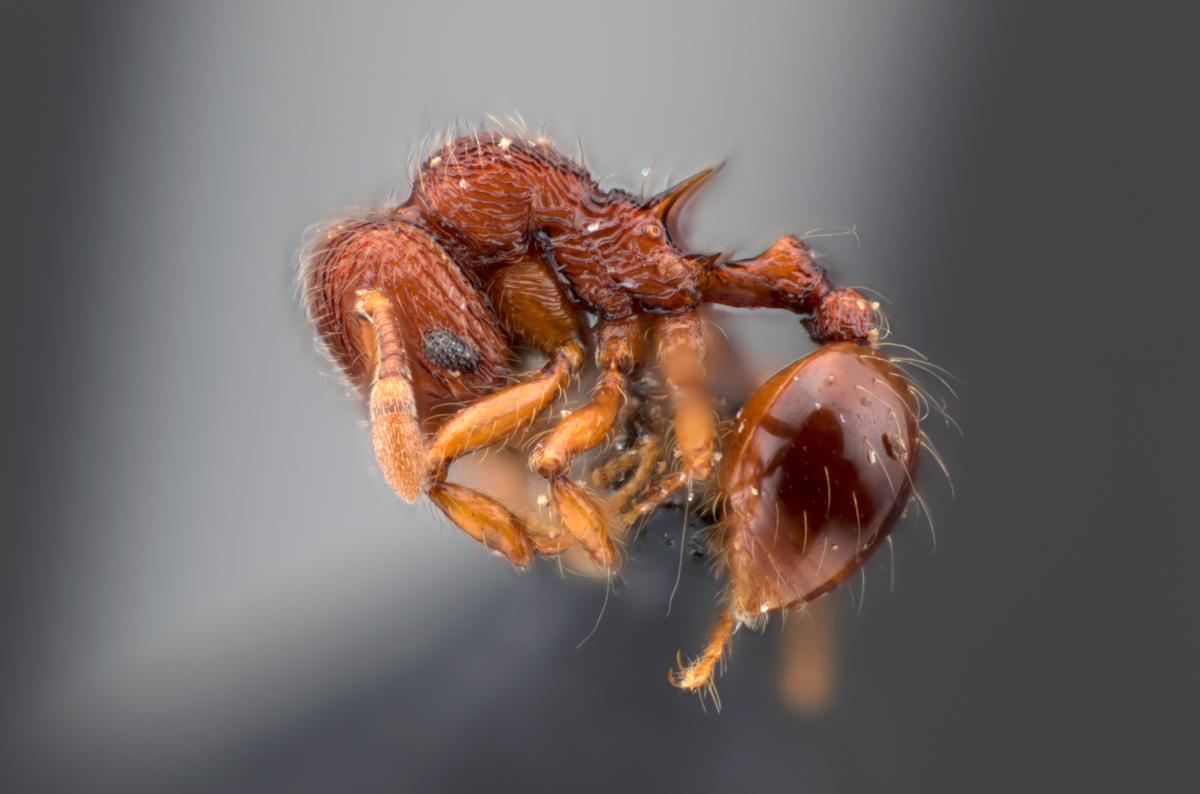 Lachnomyrmex cf. fernandezi
