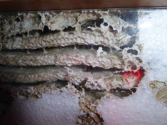 Vespula vulgaris