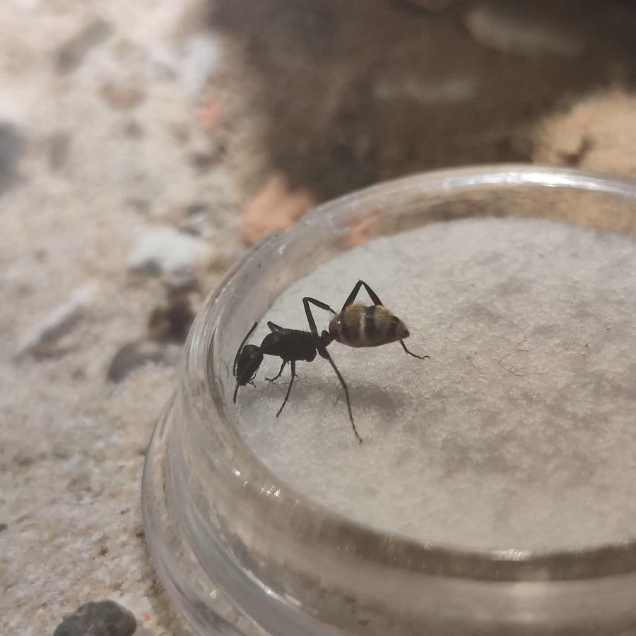 Camponotus fulvopilosus an der Harnstofflösung