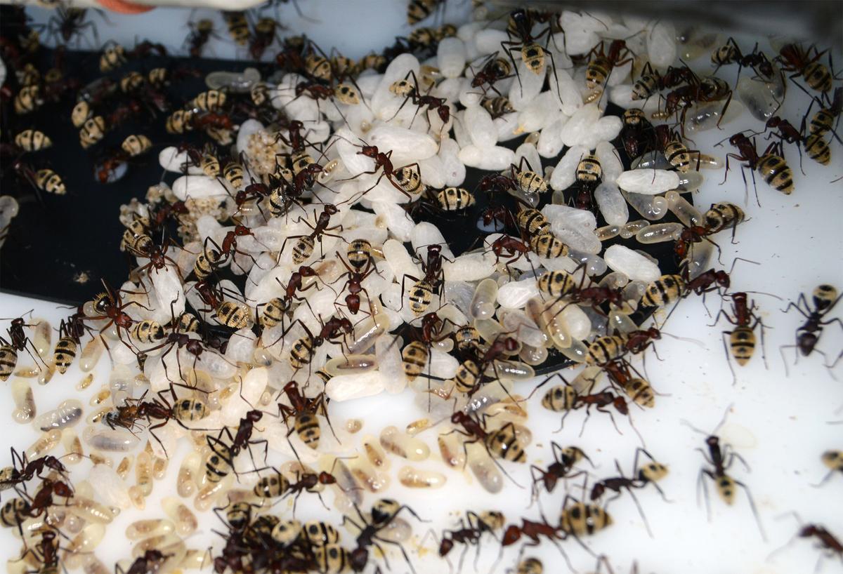 Camponotus detritus brood