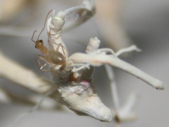 Camponotus turkestanus 04 Arbeiterin beim Erkunden der Umgebung 03