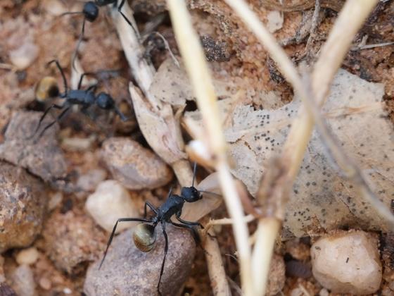Polyrhachis sp. aus Australien