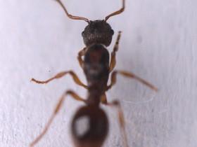 Myrmica scabrinodis 1-7