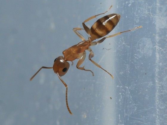 Camponotus sp. Guyane 'Colobopsis' 04 Arbeiterin 04