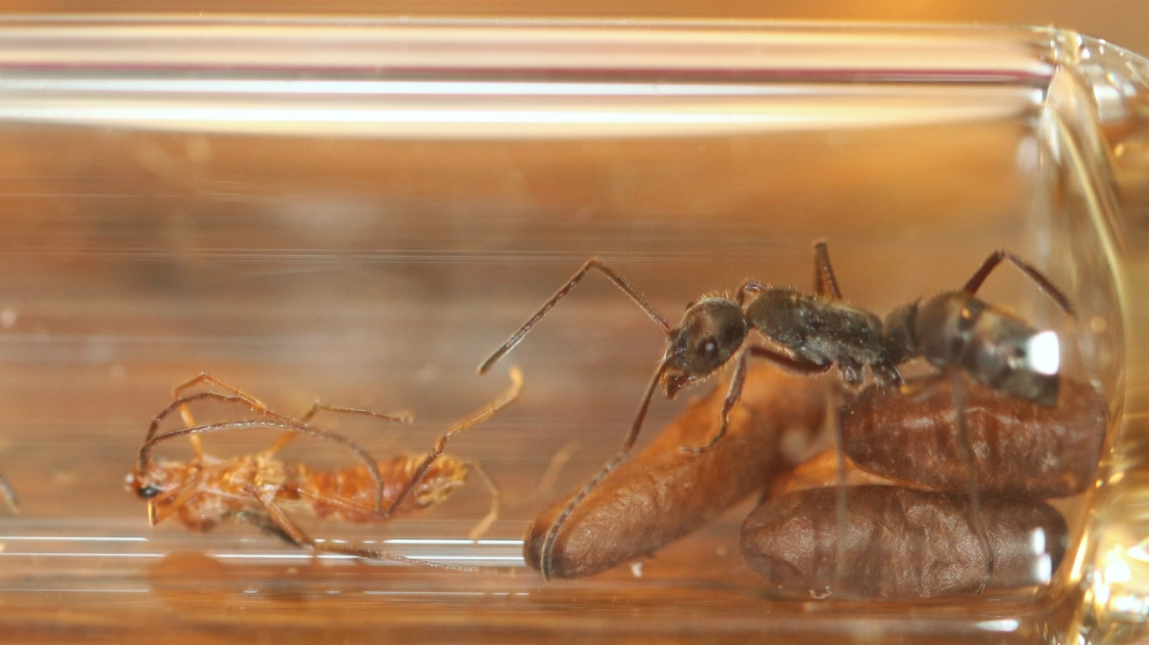 Diacamma cf. rugosum 25 Arbeiterin mit geschlüpftem Männchen Setup 01