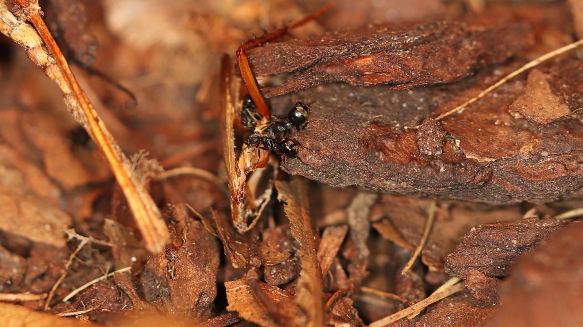 Dolichoderus bispinosus 22 mehrere Arbeiterinnen mit Schabe 01