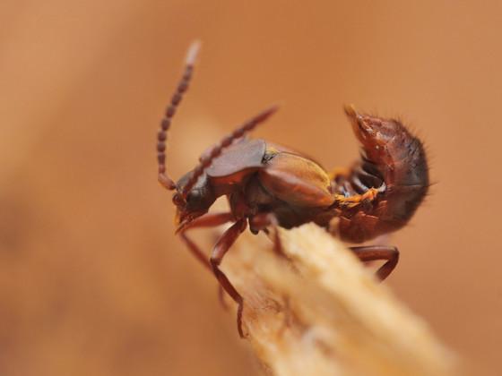 Lomechusa emarginata