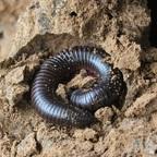 Diplopoda
