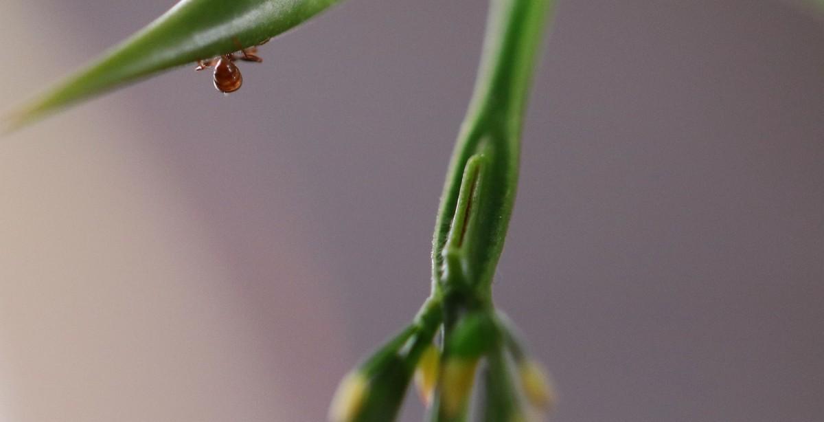 Pseudomyrmex ferrugineus 40 Arbeiterin verschwindet im Dornenpaar 01