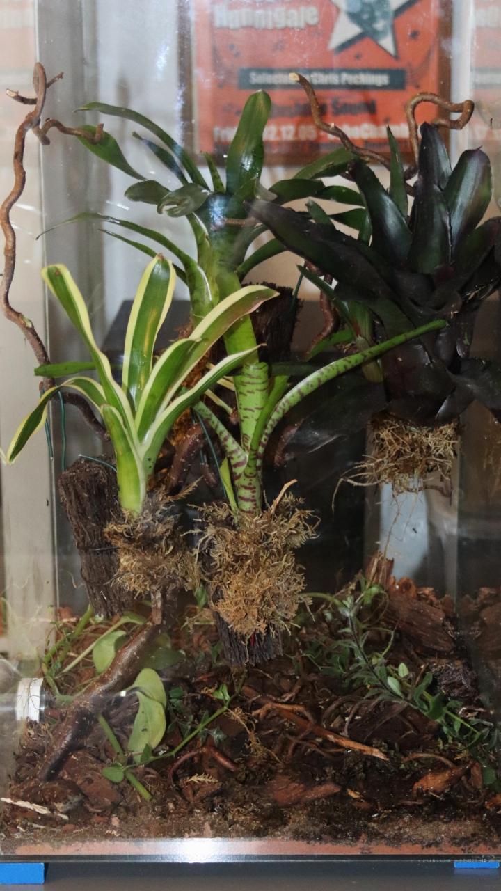 Dolichoderus bispinosus 40 neues Setup 01