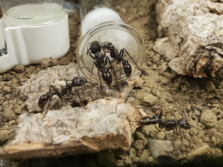 P. clavata Königin und Arbeiterinnen mit starkem Milbenbefall