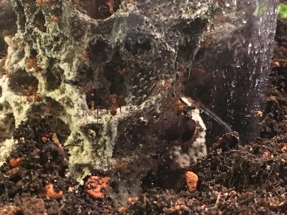 Atta cephalotes Mini Major und Gyne 1 [27.08.19]