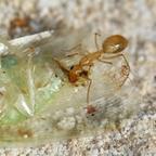 Camponotus turkestanus 18 Arbeiterin beim Fressen 03