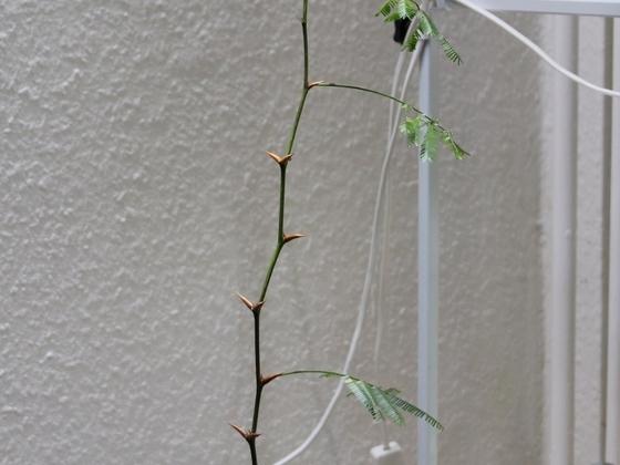 Pseudomyrmex ferrugineus 29 Vachellia cornigera 20180401 06