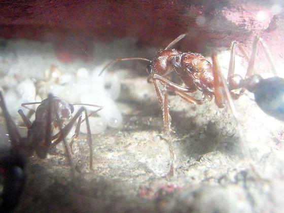 Myrmecia pavida, Blick in die Königinkammer.
