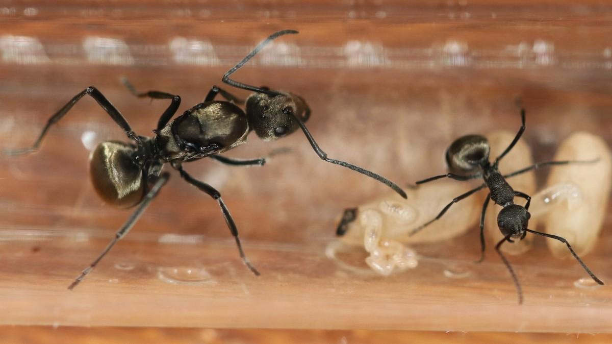 Polyrhachis sp. Thailand 01 Gyne Arbeiterin Brut 01