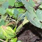 Odontomachus erythrocephalus 19 Arbeiterinnen auf Pflanzen in Arena 01