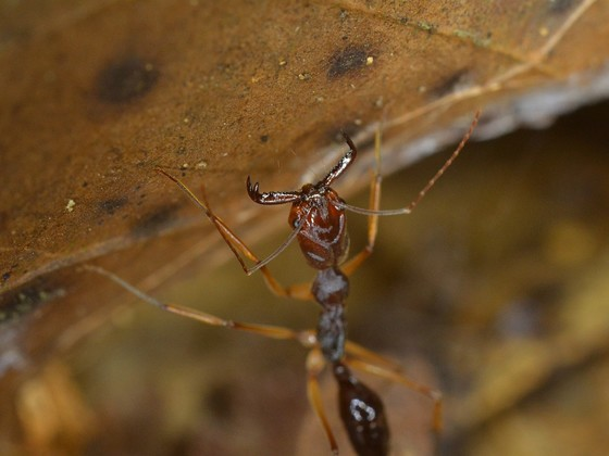 odontomachus infantus