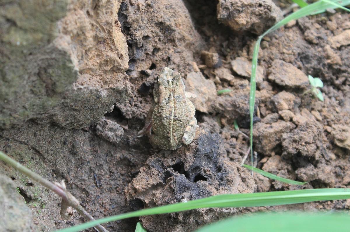 Sclerophrys regularis toad