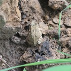 Sclerophrys regularis toad