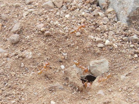Cataglyphis lividus