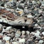 """Eine so genannte """"Sonoran Gopher Snake"""" (Pituophis catenifer affinis) beim Überqueren der Straße."""
