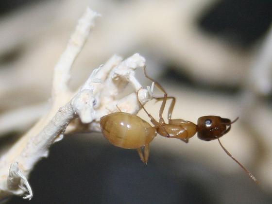 Camponotus turkestanus 08 Major Arbeiterin 02