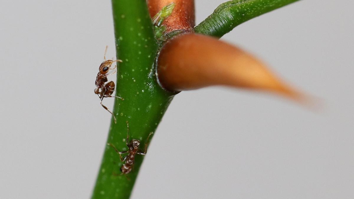Pseudomyrmex ferrugineus 23 zwei Arbeiterinnen 04