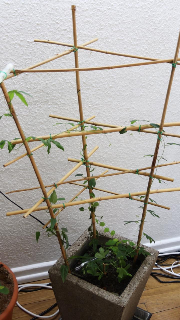 Tetraponera schulthessi 34 Passiflora 20180607 04