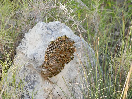 polistes nest