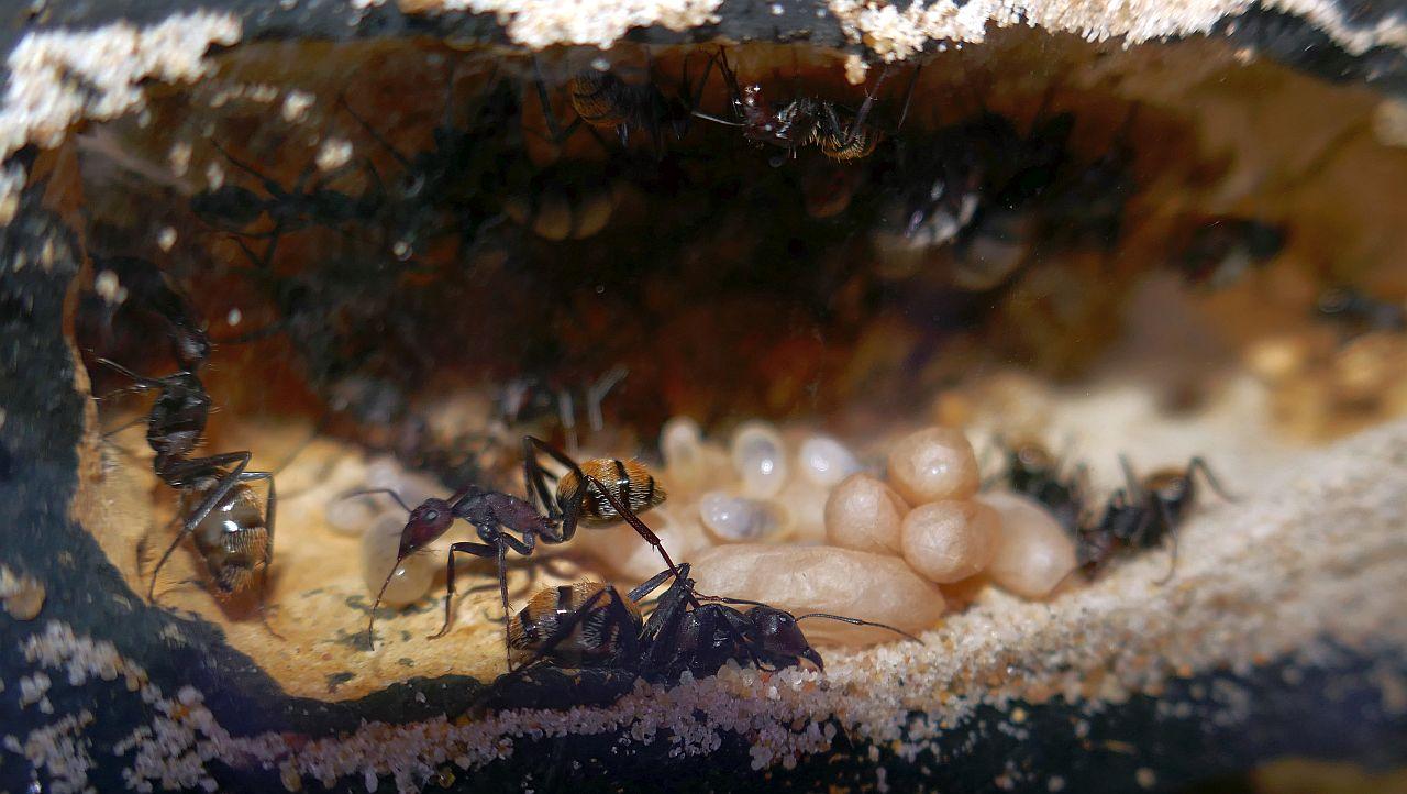 C. fulvopilosus Brutkammer