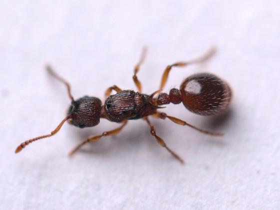 Myrmica scabrinodis 1-2