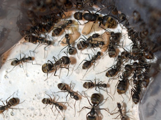 Camponotus sp. Thailand silberner Gaster