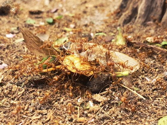 Atta cephalotes Dubia [19.04.20]